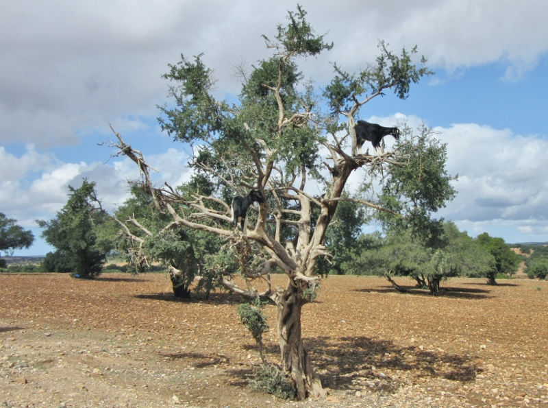 goats in Argan trees - On the road to Essaouira