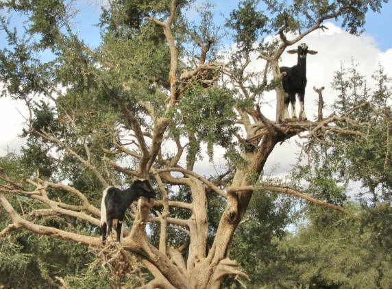 goats in Argan trees - On the road to Essaouira, Morocco.