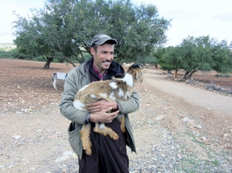 A shepherd and goat in the Argan tree field - On the road to Essaouira