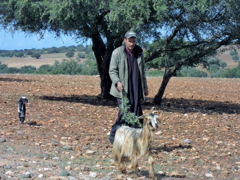 goats and argan trees - On the road to Essaouira