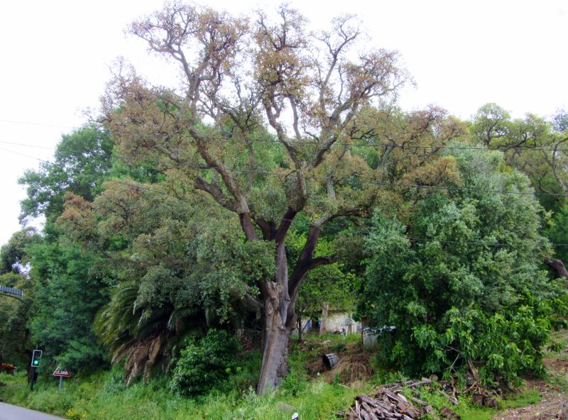 Partially stripped cork oak tree